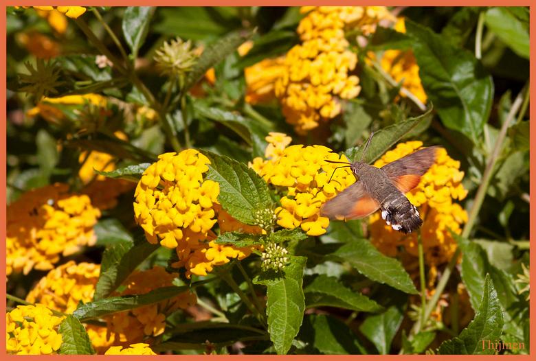 lekker zeg die bloem - de eerste mooie koliebrievlinder van mij en ik heb hem een beetje bewerkt met mijn moeder maar heel mooi en ik hou van reacties