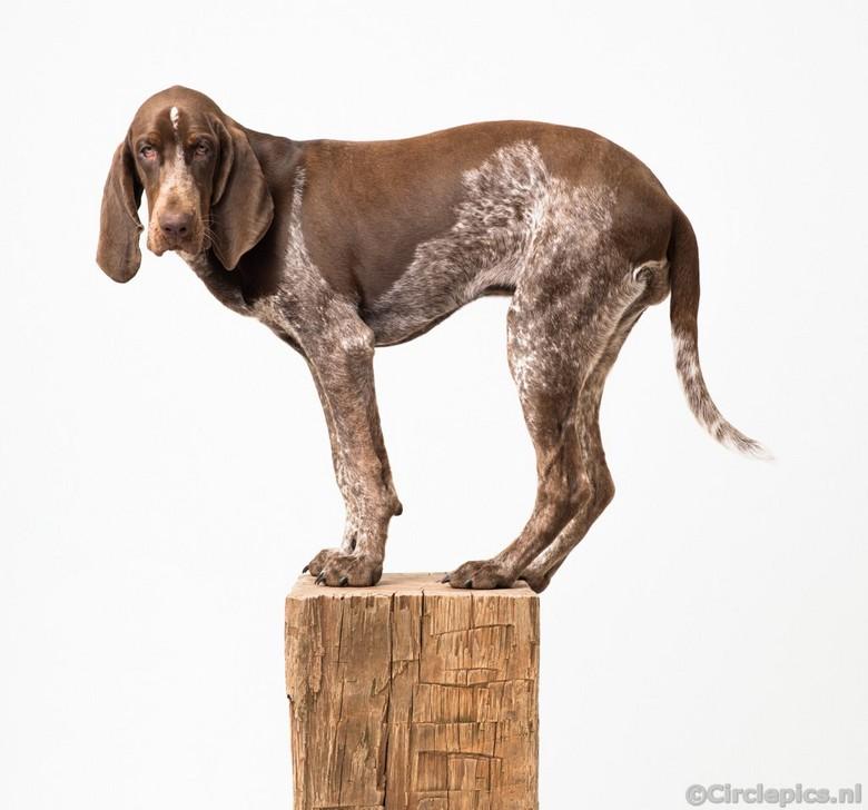 Balancing Bracco - Kleine hondjes worden groot ... <br /> Het blok hout dat ik aangeschaft had om onze kleine Lola zittend op te portretteren bleek a