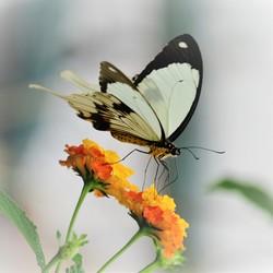 Papillio dardanus