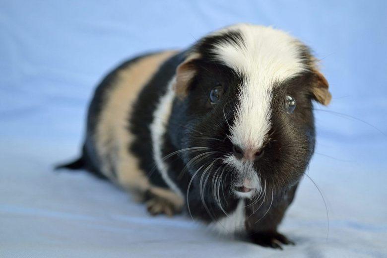 Cavia Mila † - Één van onze 4 Cavia&#039;s, dit is een vrouwtje, Mila. <br /> De anderen volgen binnenkort.