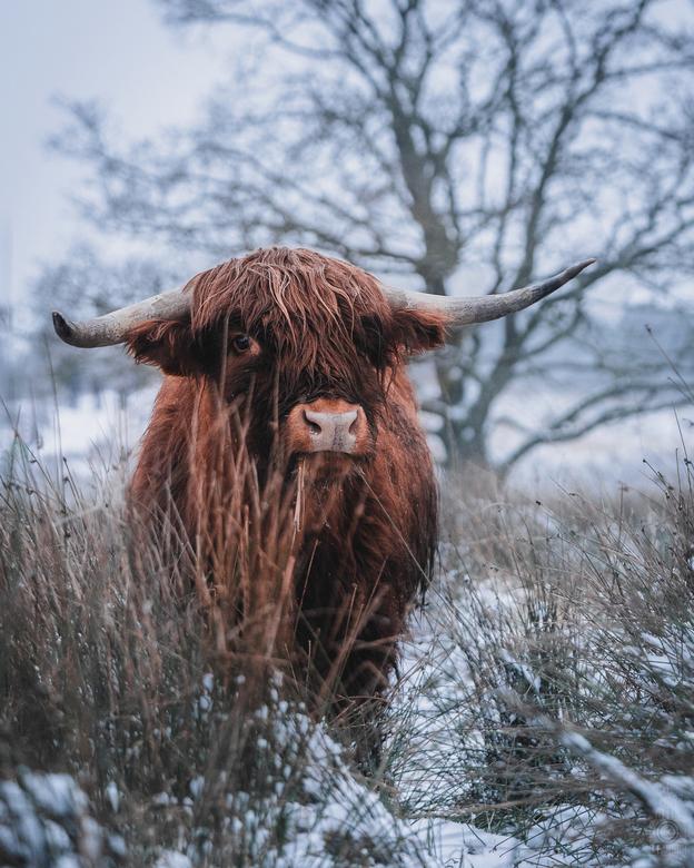 Cowt zeg! - Vanochtend vroeg de wekker gezet in de hoop dat er nog een sneeuwbui was gevallen. Helaas ijzelde het behoorlijk in de stad Groningen. Dus
