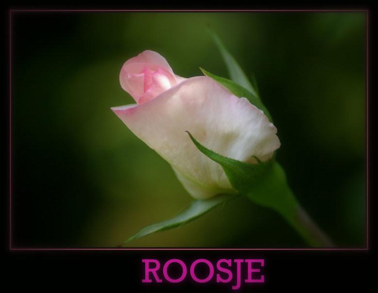 eerste roosje - de tuin staat weer volop in bloei maar de rozen staan nog in de knop . toch was er een die al een kijkje kwam nemen
