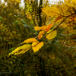 Golden leafs . . .