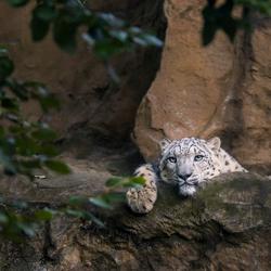 Relaxing Snowleopard