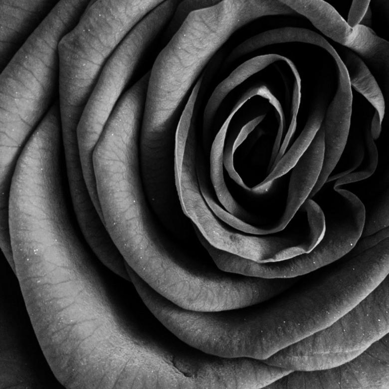 Een Roosje Bewerkt Zwart Wit