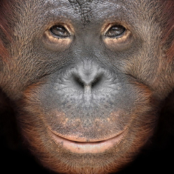 Close up: Orang Oetang