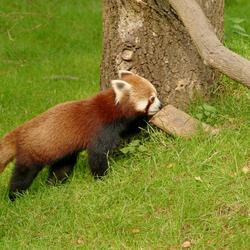 Bewerking: Rode panda