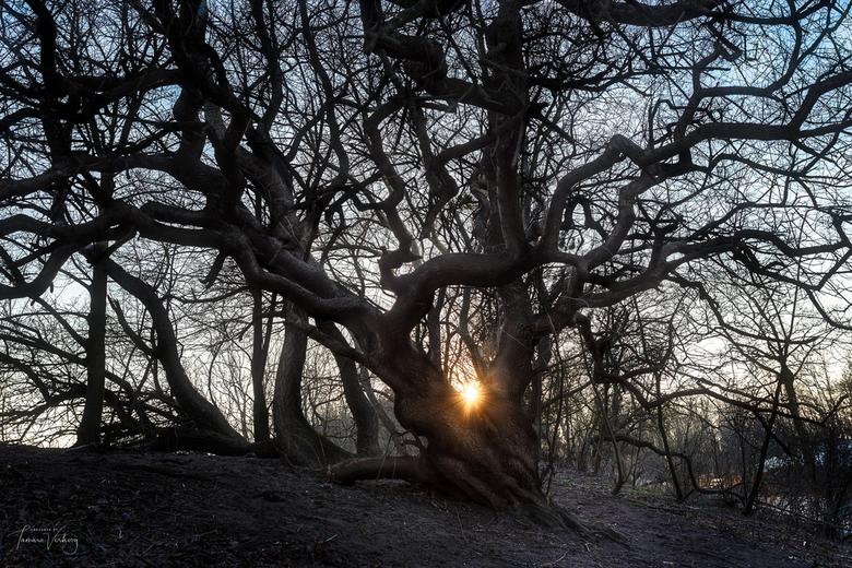 Tree on Dutch dunes  - Struinen door de duinen en dan zulke mooie bomen tegen komen. De lucht was niet veelbelovend voor een mooie zonsondergang aan z