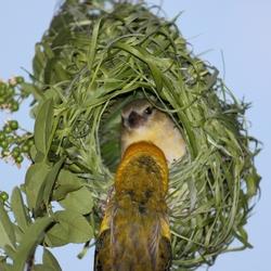 Wever vogels