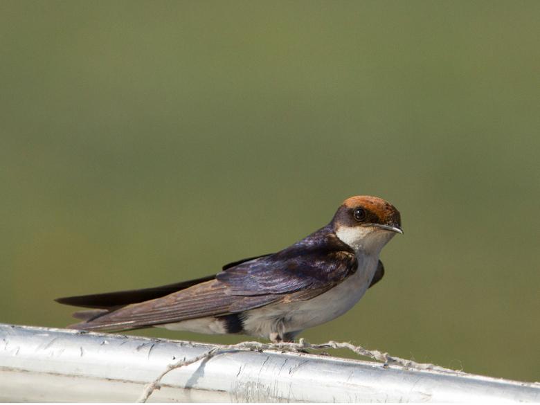 Wire tailed Swallow Botswana - Wire tailed Swallow Botswana