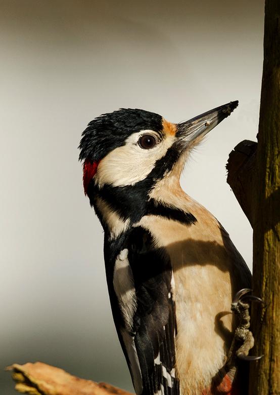 Grote bonte specht ♂ - Deze specht laat zich van zijn beste kant zien tijdens dit plaatje .<br /> Wat een prachtige vogels zijn dit toch.<br /> Ik k