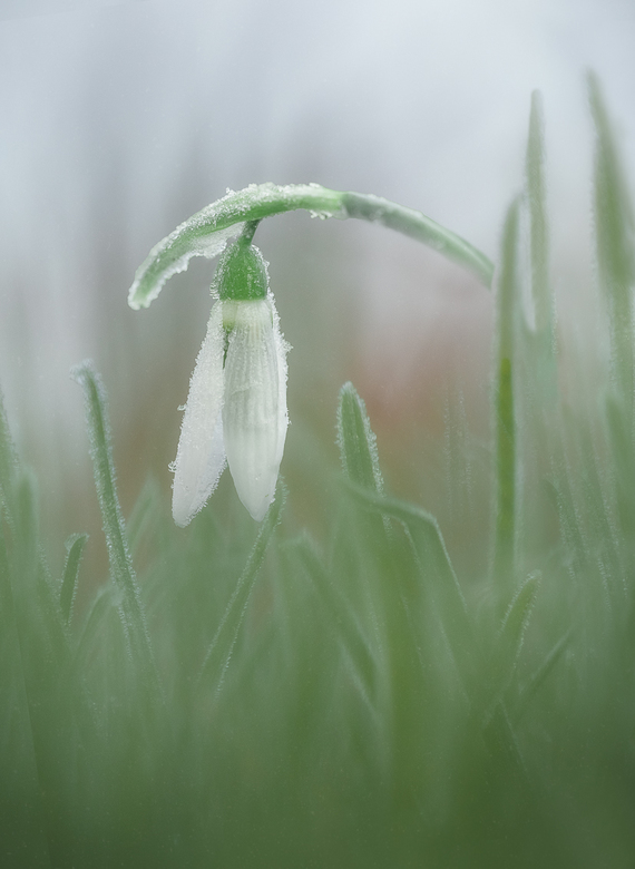 Frozen - Een dapper sneeuwklokje dat het heeft aangedurfd om boven de grond te komen. De bloemblaadjes stijf dichtgevouwen en bedekt met een laagje ri