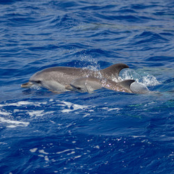 spotted dolphins madeira