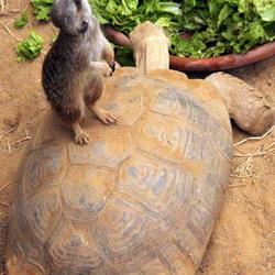 Surfen op een schildpad