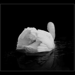 witte zwaan 2