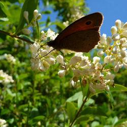 Heidevlinder in het panbos