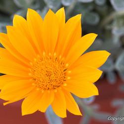 Gele margriet