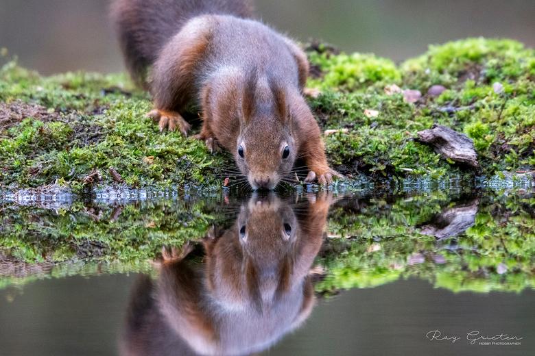 Ben ik dat nu of is het mijn tweelingbroer ? - Mooi weerspiegeling van een eekhoorn die aan het drinken was.