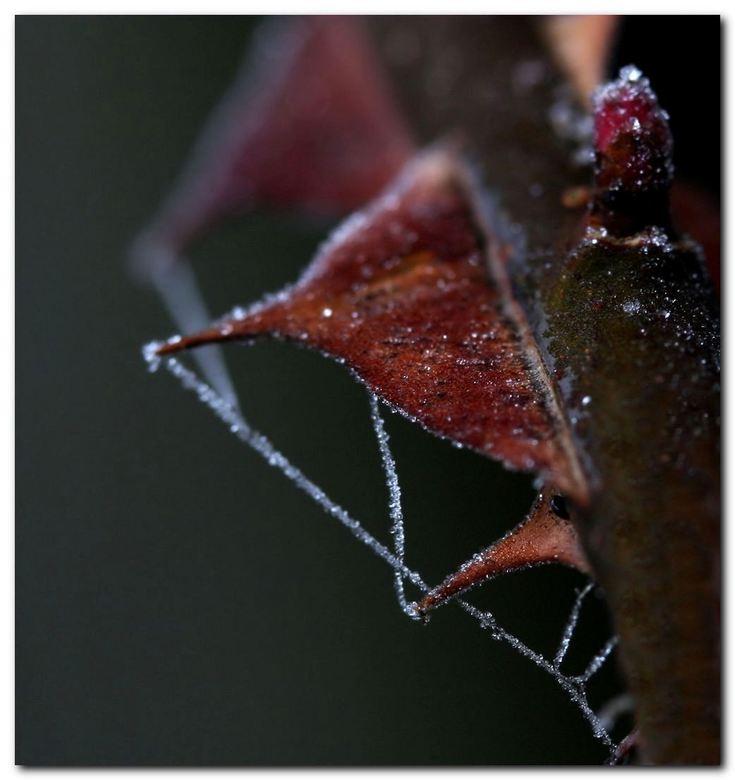 Stekelweb - Een berijpt spinnenweb bij de stekels van roos Hidcote Gold. Dit is de roos die bij mij afgelopen voorjaar helemaal tot aan de grond stukv