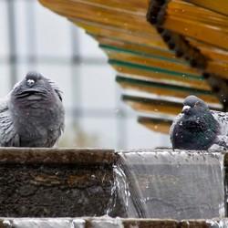 duiven badderen in de fontein