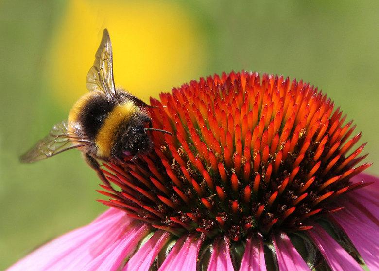 bij1zmDEF.jpg - Op zoek naar honing.