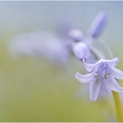 Blooming Bluebell