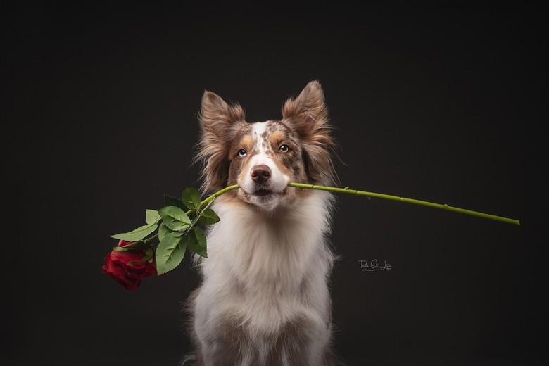 Happy Valentine! - Jybke de border collie