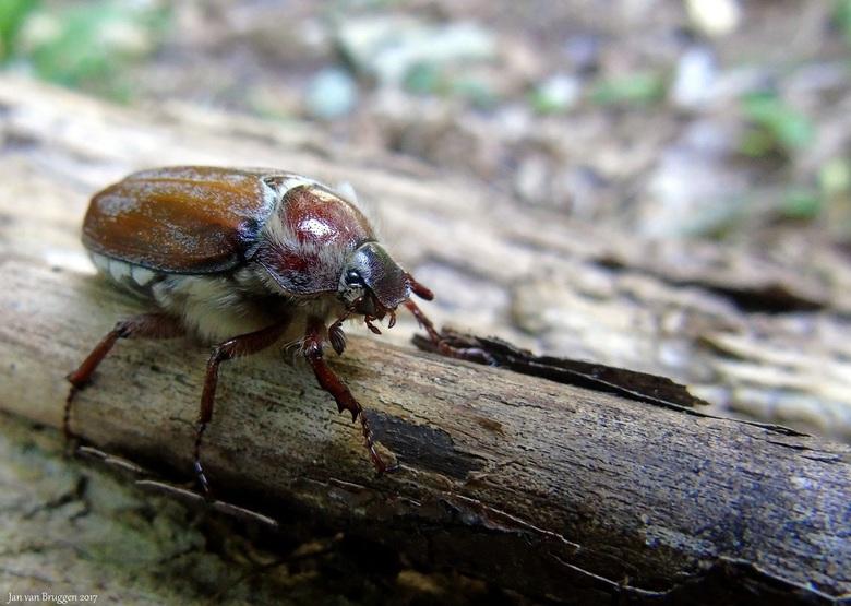 Amphimallon solstitiale - De junikever (Amphimallon solstitiale) is een kever uit de familie bladsprietkevers (Scarabaeidae). De verouderde soortnaam
