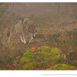 Wolf in de mist