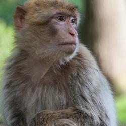 Portret van een aap.