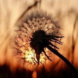 dandelion schoonheid