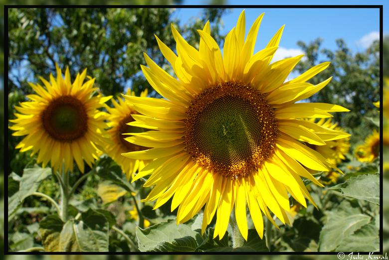 Sunflowers - Heb deze foto op vakantie in Frankrijk genomen. Achter onze verblijfplaats was een groot zonnebloemveld. Ik ben er heen (in) gelopen en h