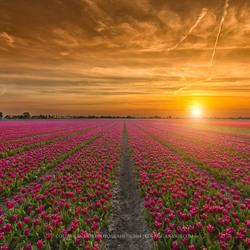 Beautiful tulip sunset