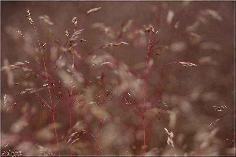 rose gras - 1 van de vele soorten grassen met de nadruk niet vooraan maar op de tweede rij  grt paul