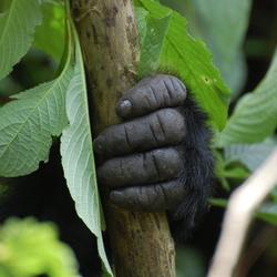 Hand van gorilla om boomstammetje