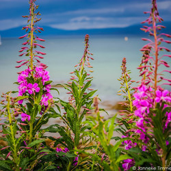 Fireweed roos in schotland