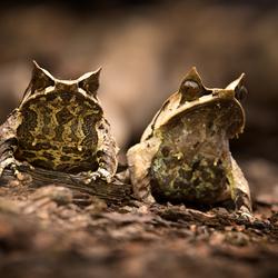 langneus hoornkikker