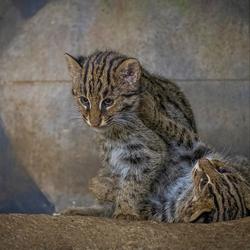 Vissende kittens .