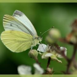 Vlinder in Duitsland