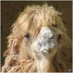 Camel selfie...