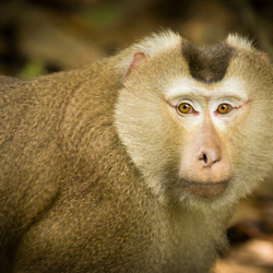 Northern pig-tailed macaque