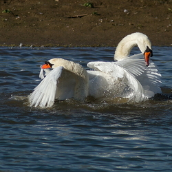 swans fight