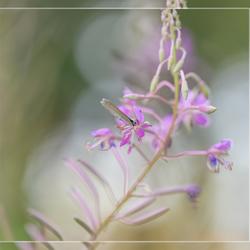 Druk boomblauwtje