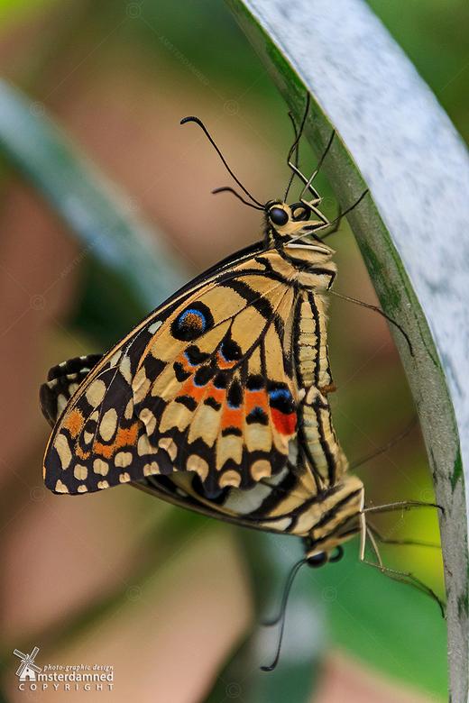 Limoenvlinder - Parende Limoenvlinders bij Vlinders aan de Vliet in Leidschendam.<br /> <br /> De limoenvlinder (Papilio demoleus) is een vlinder ui