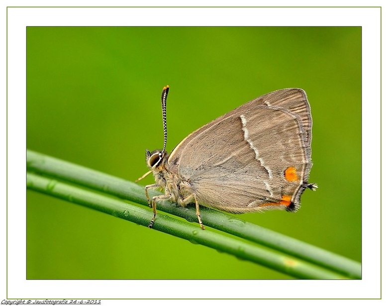 eikenpage (Favonius quercus) - bedankt voor de rea op m,n vorige eikenpage die met de vleugeltjes open.ieders een heel fijn weekend. gr jans.<br /> <