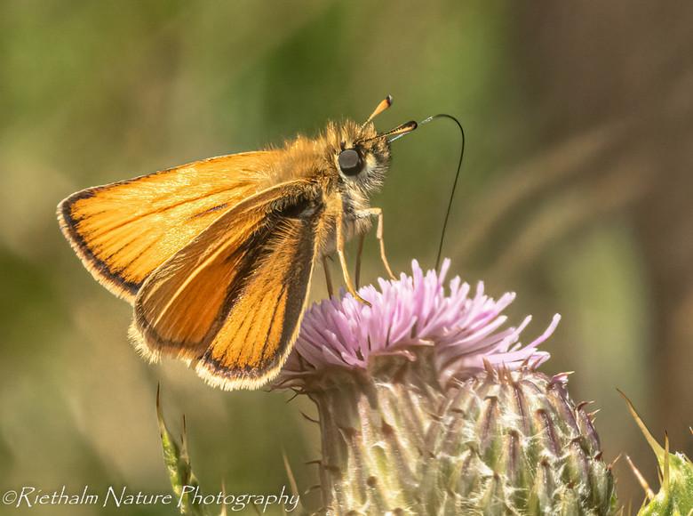 dikkopje - Vliegend en zoekend van bloem naar bloem