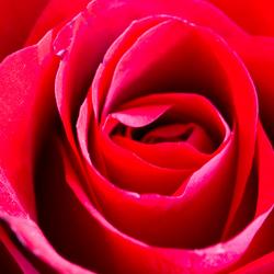 Hart van een roos.