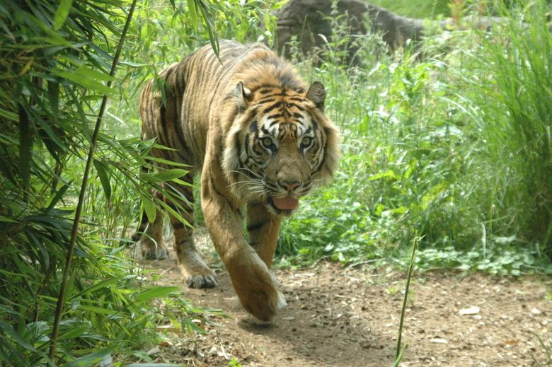 Tijger I - Foto van een van de tijgers in Blijdorp, Rotterdam.