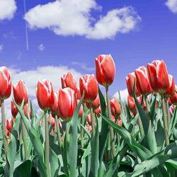 tulpen bewerktDSC_0161