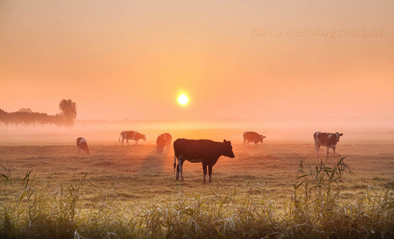 Foggy Cows.......